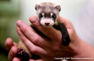 Black%20Footed%20Ferret
